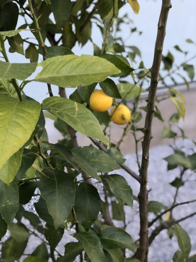 庭になったレモンの実